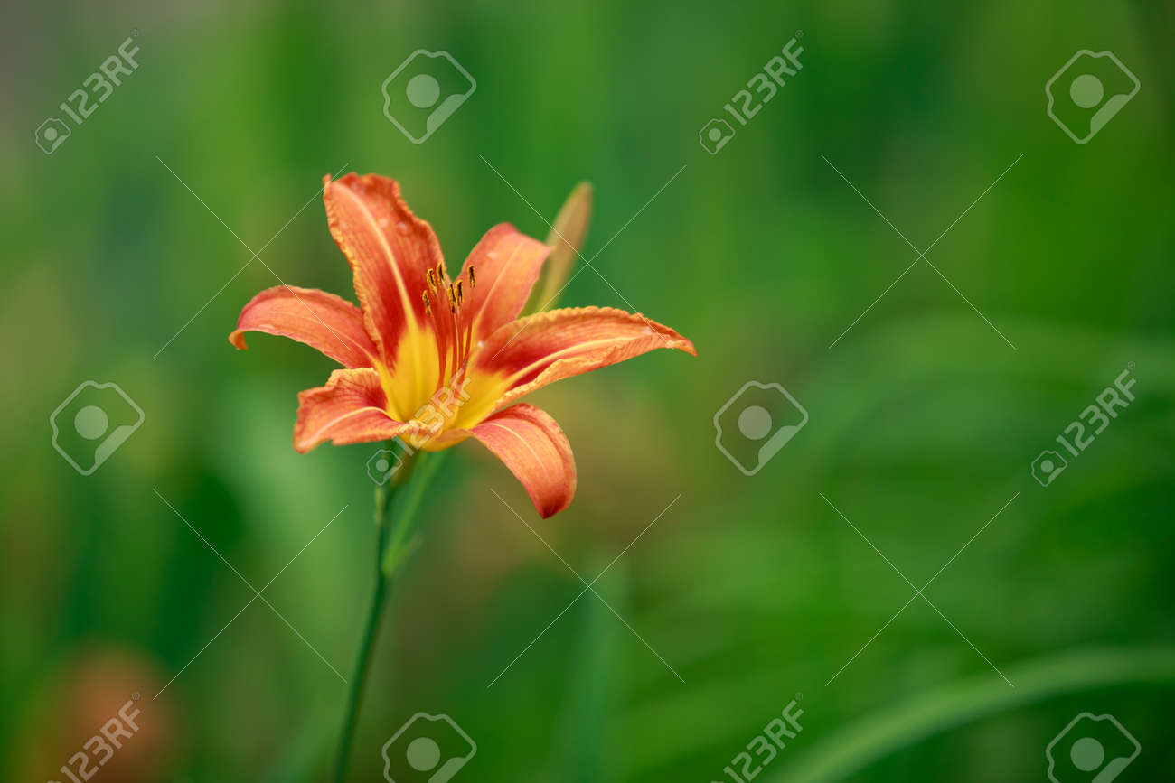 Bush of blooming orange lilies close-up in the open air - 155787404
