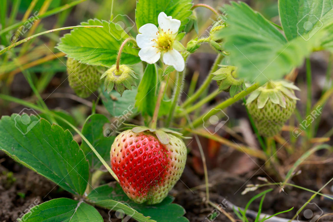 Beautiful flowering strawberry bush with one berry - 155788111