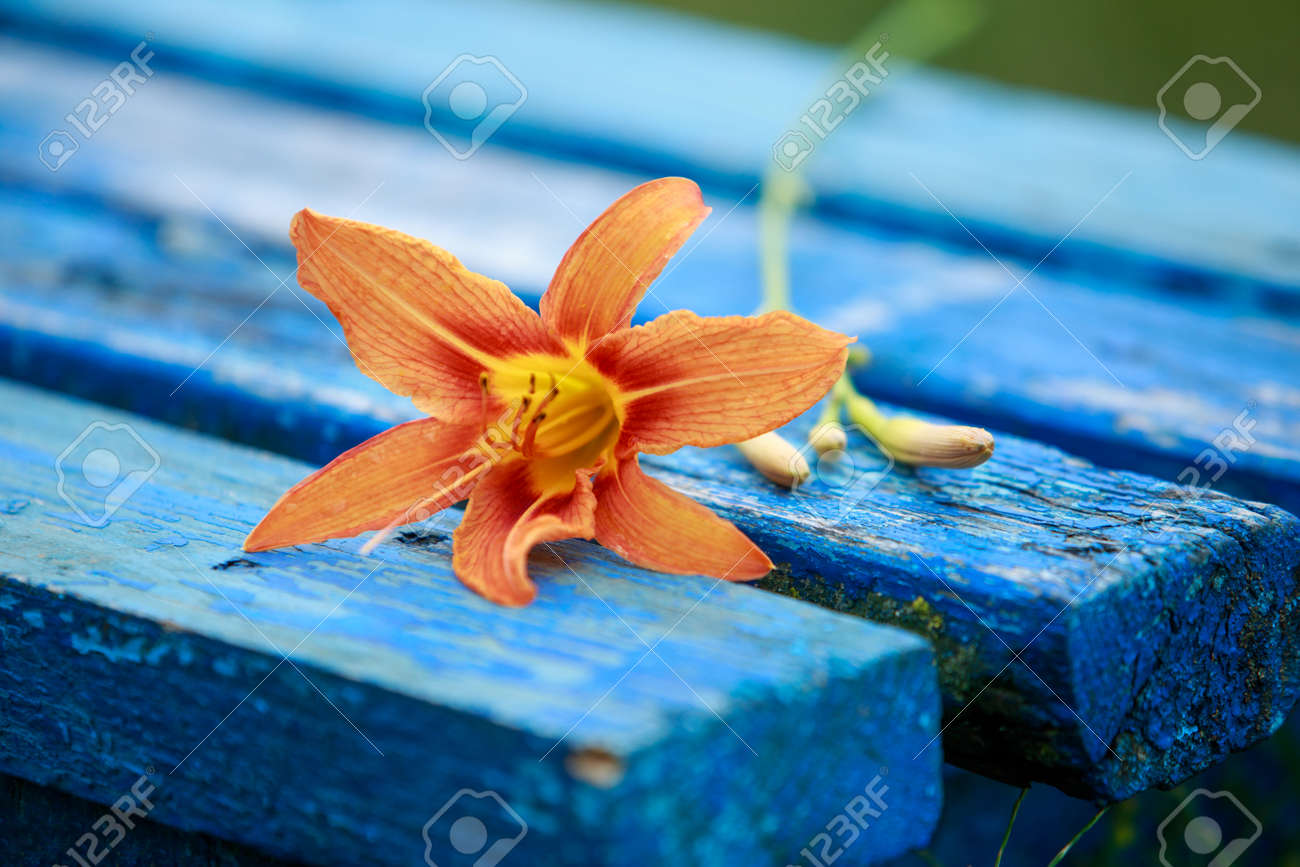 Orange lily on a blue bench in the garden - 155787194