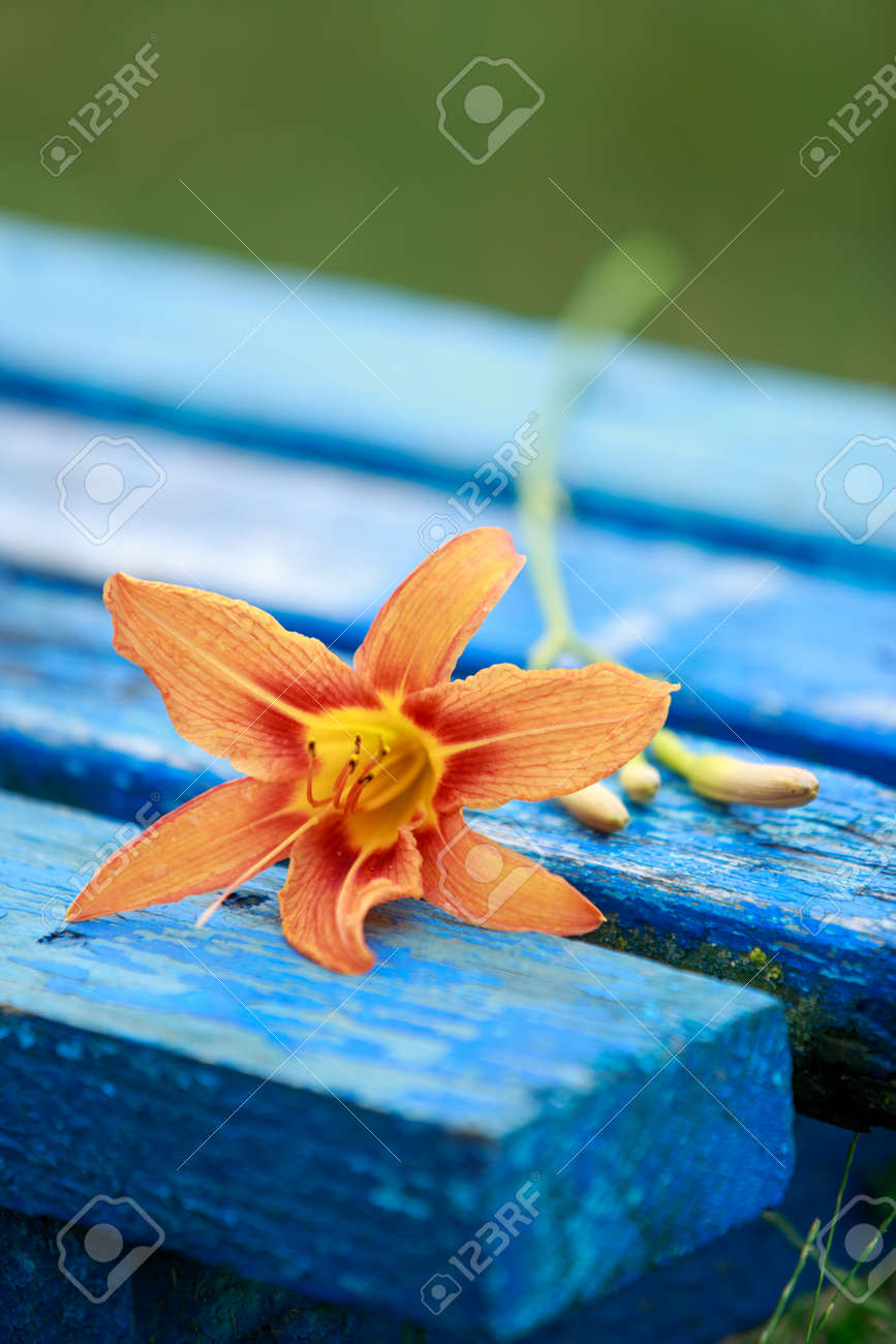 Orange lily on a blue bench in the garden - 155786811