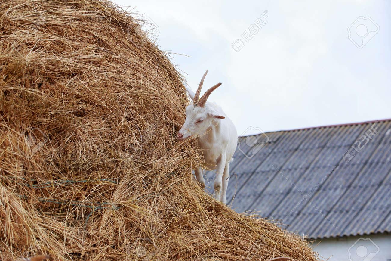 Goat eat fresh hay near the farm - 155789476