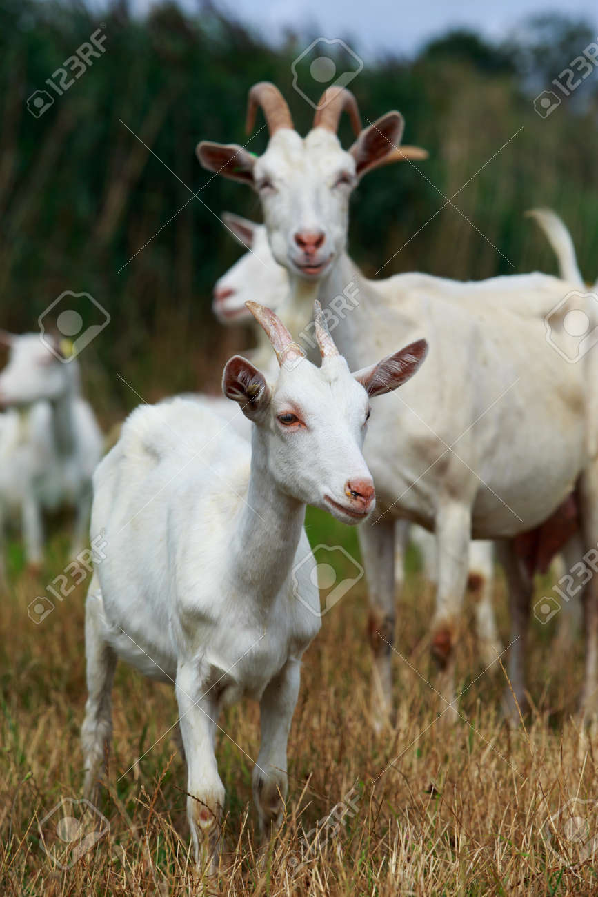 Goats in the pasture of organic farm - 156313780