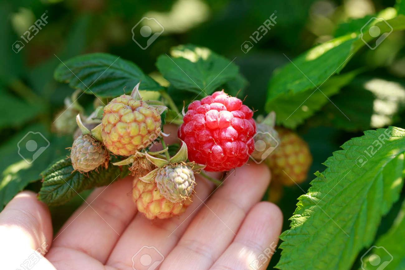 Big beautiful ripe raspberries on a branch close up - 155983301