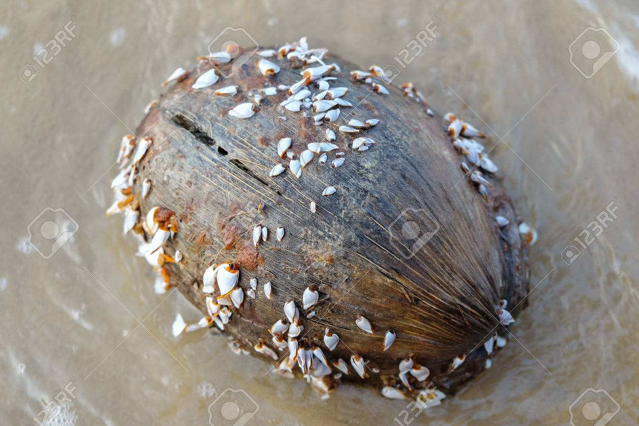 goose barnacles or gooseneck barnacles on coconut stock photo