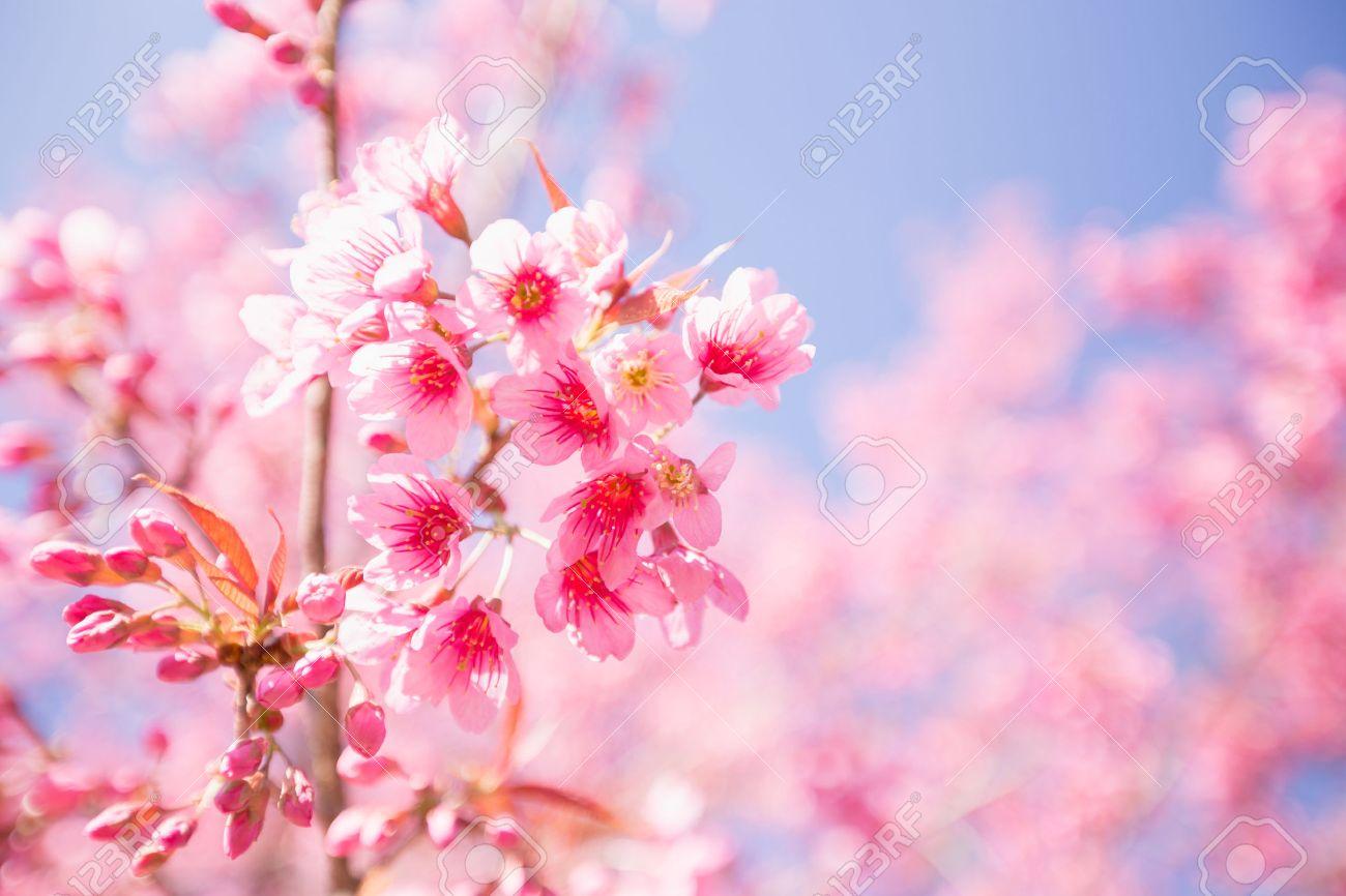 Pink sakura flower blooming stock photo picture and royalty free pink sakura flower blooming stock photo 37403417 dhlflorist Images