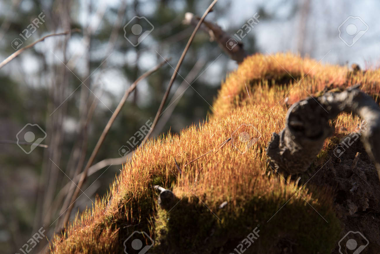Many young sprouts of moss in the sun. Spring growth of moss. The texture of green shoots - 168593368