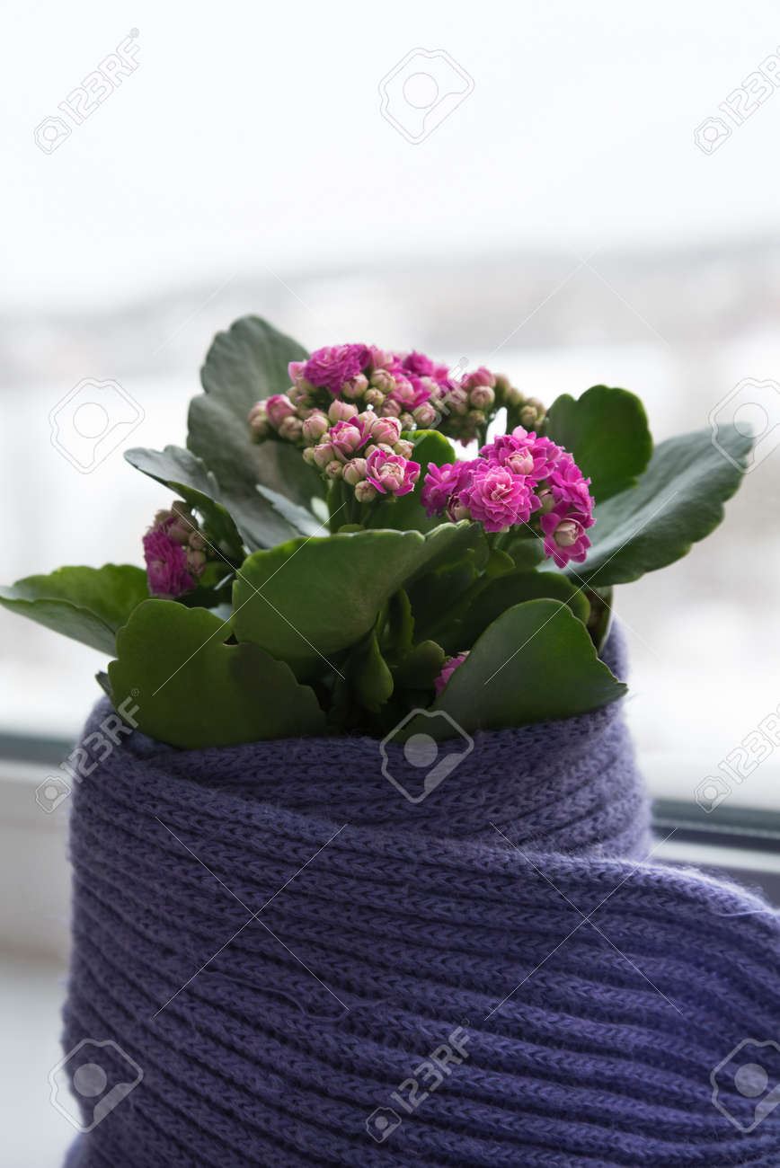 The flower in the pot is carefully wrapped in a scarf. The plant stands on the windowsill, the winter weather is visible outside the window. The concept of care and love - 168593578