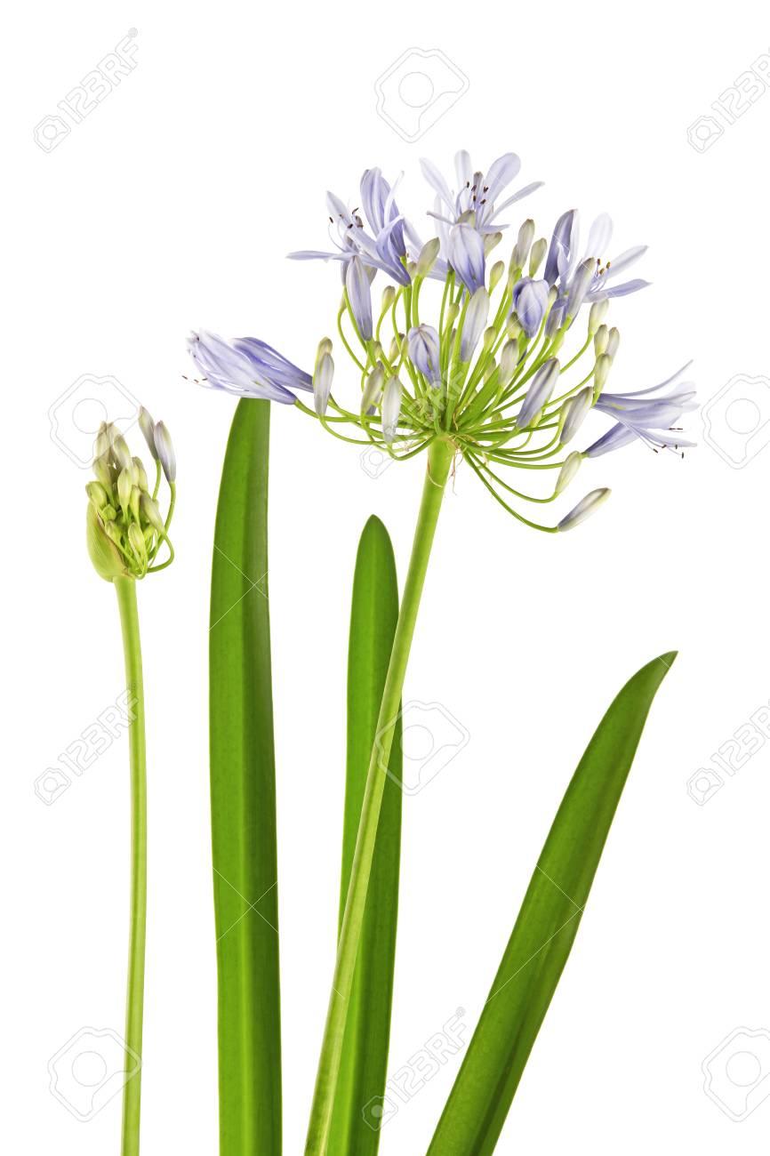 Agapanthus Foglie Gialle agapanthus flower