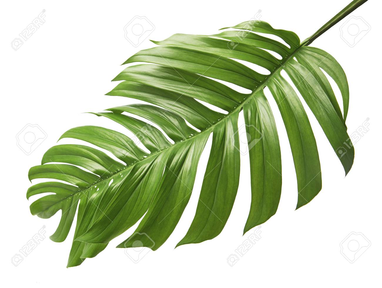Monstera deliciosa leaf or Swiss cheese plant, Tropical foliage isolated on white background, with clipping path - 95037955