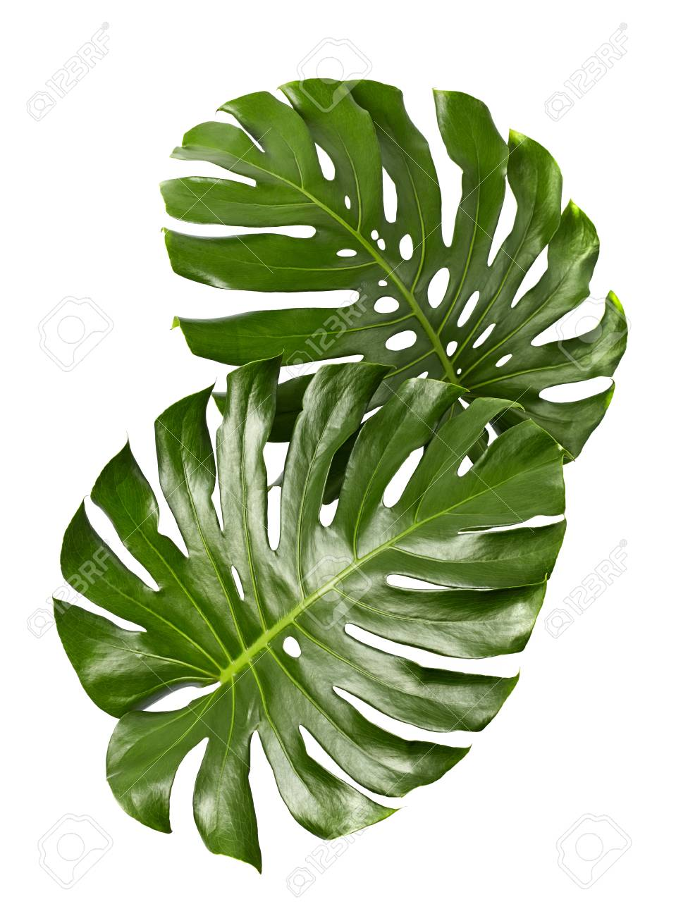 Monstera Deliciosa Leaf Or Swiss Cheese Plant Tropical Foliage Stock Photo Picture And Royalty Free Image Image 95037989