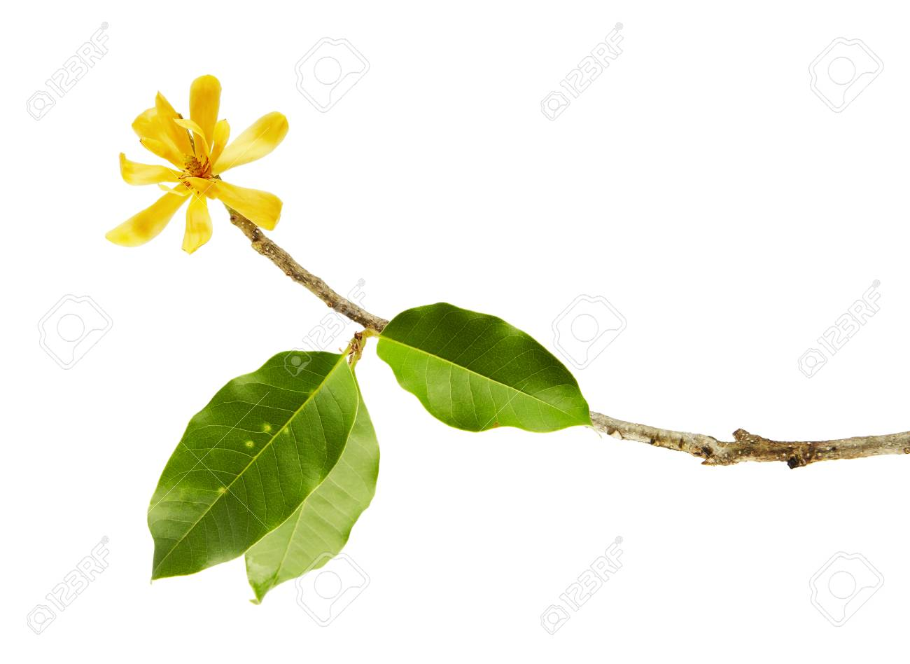 Champak flower magnolia champaca fragrant yellow flower blooming champak flower magnolia champaca fragrant yellow flower blooming on branch with green leaves isolated on white background with clipping path mightylinksfo