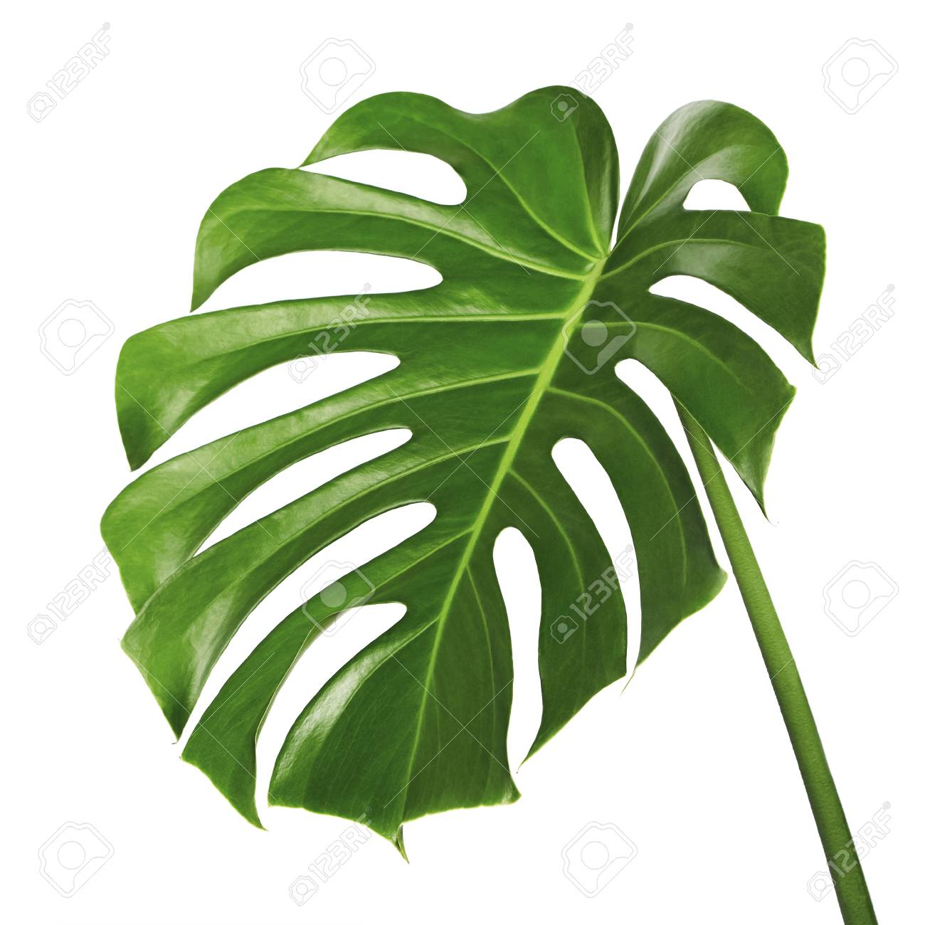 Monstera Deliciosa Leaf Or Swiss Cheese Plant Tropical Foliage Stock Photo Picture And Royalty Free Image Image 97651832