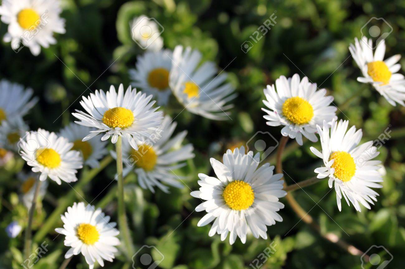 This Is A Bundle Of Flowers White Daisy Like Nice Nature Background