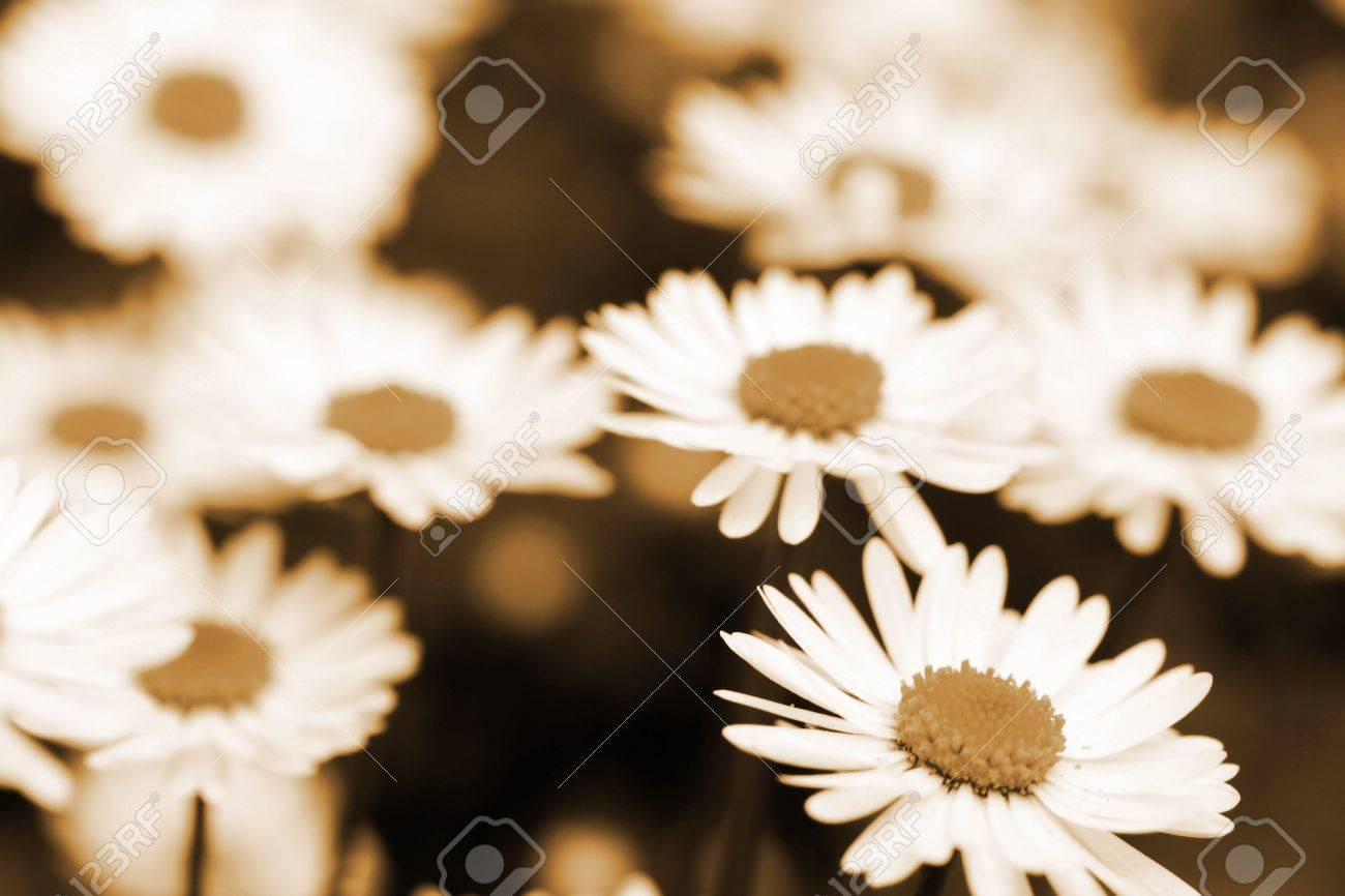 this is a field of daisy flower in sepia color like nice retro