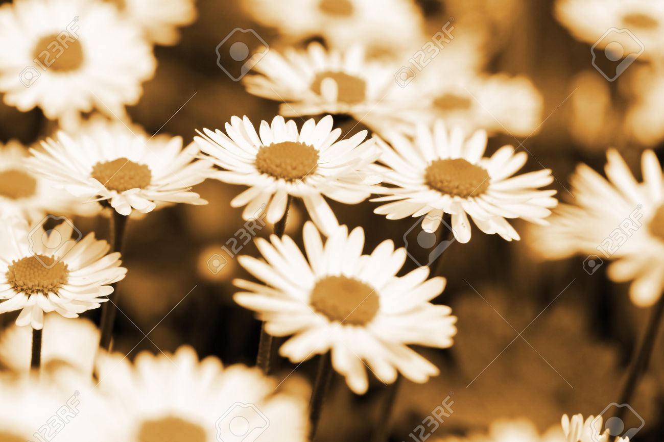 This is a field of daisy flower in sepia color like nice retro stock photo this is a field of daisy flower in sepia color like nice retro flower background izmirmasajfo