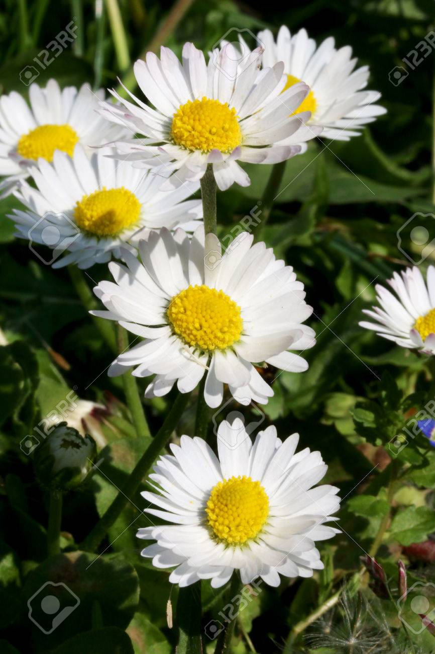 Close up shot of white daisy flower like some nice flower close up shot of white daisy flower like some nice flower background stock photo izmirmasajfo