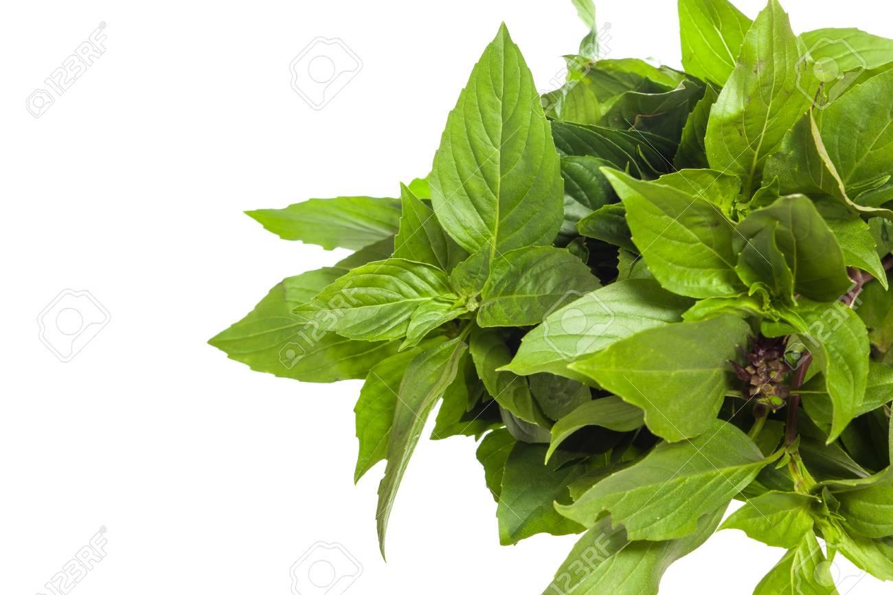 basil leaf ile ilgili görsel sonucu