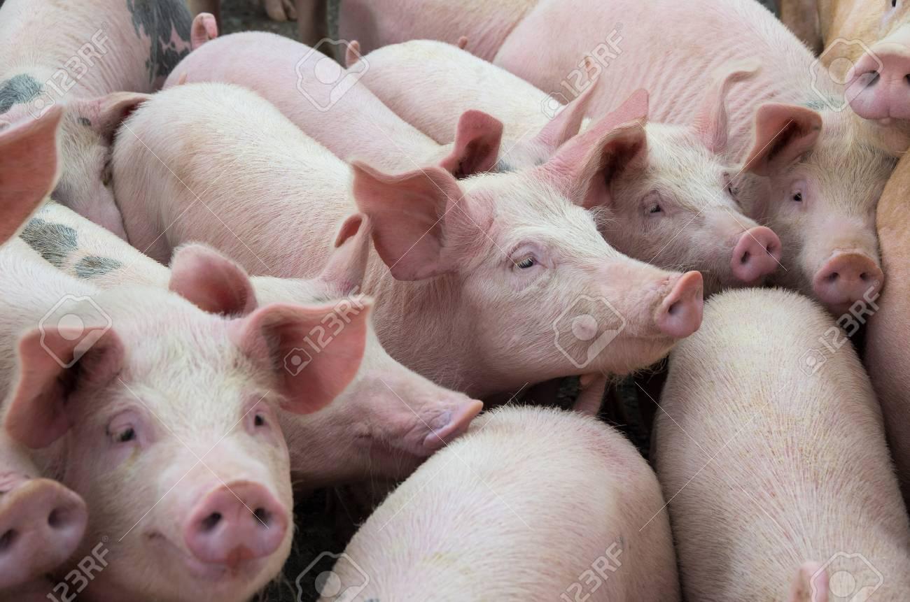 家畜の繁殖。農場の豚。 の写真素材・画像素材 Image 87327756.