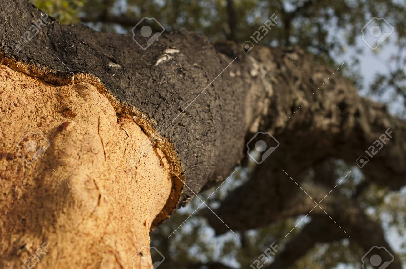 A corkwood tree. Commiphora spp. Stock Photo - 15101892