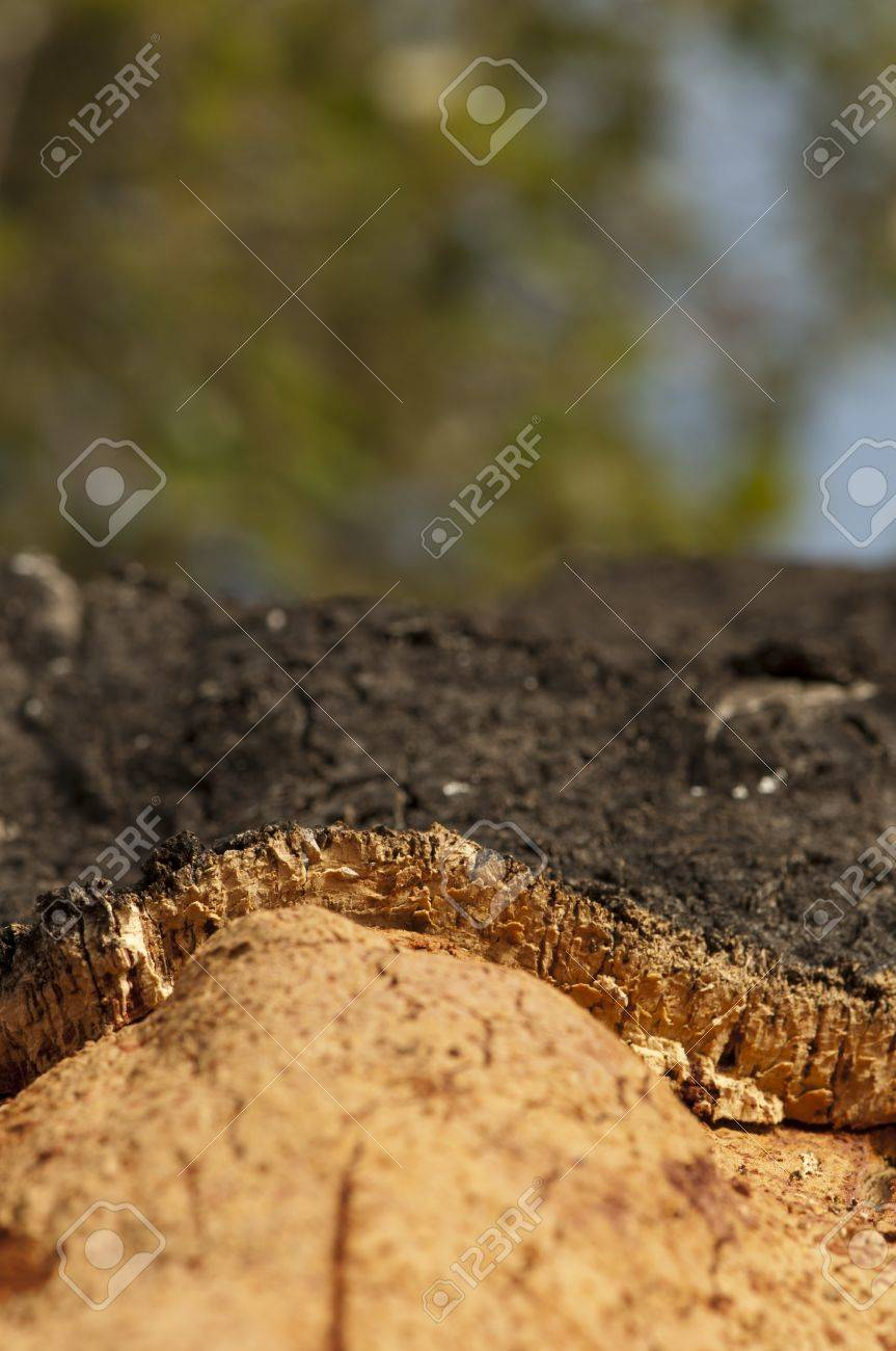 A corkwood tree. Commiphora spp. Stock Photo - 15100225