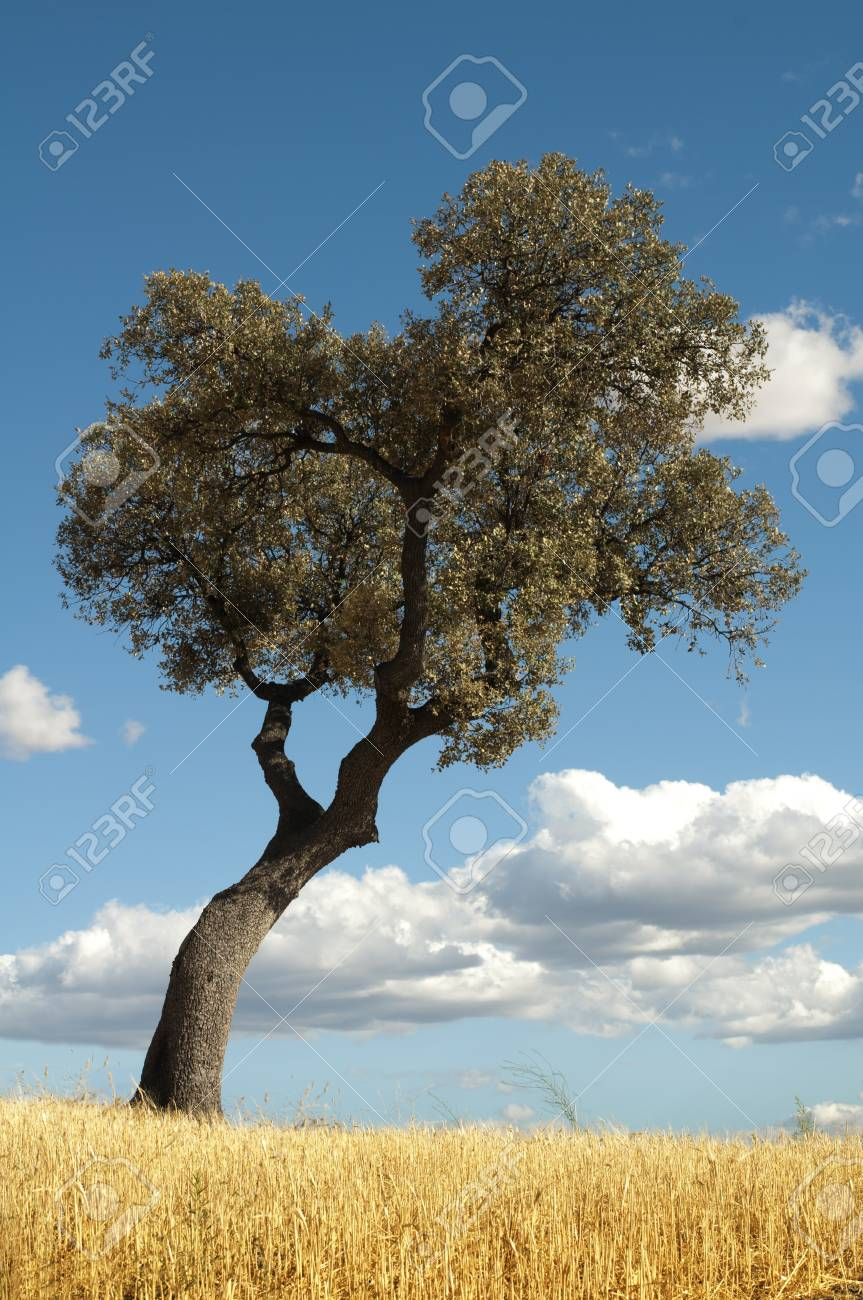Acorns tree and blue cloudy sky background Stock Photo - 15260172