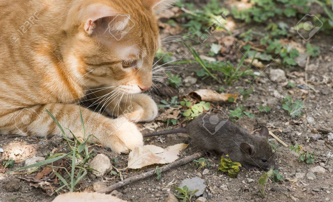 Cat And Mouse In Garden. Cat Catching Mouse Stock Photo   22695087