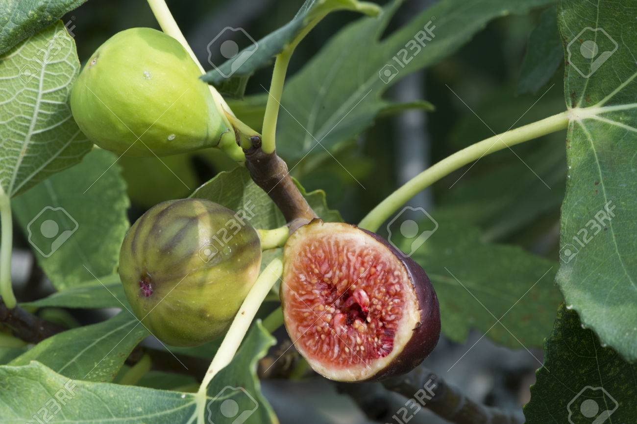 Fig on fig tree between the leaves - 22695118