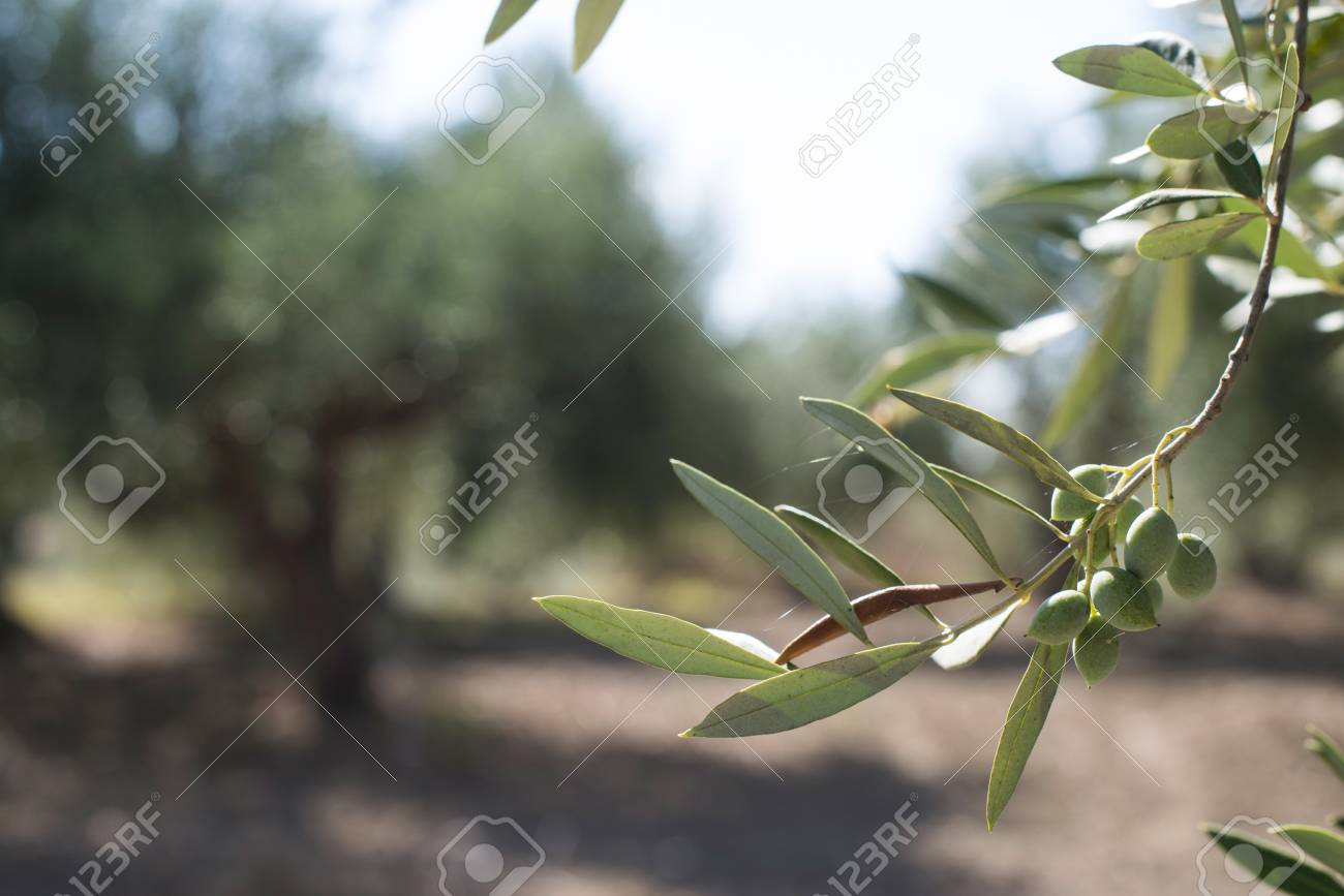 Olive branches on foreground. Olive plantation - 40513269
