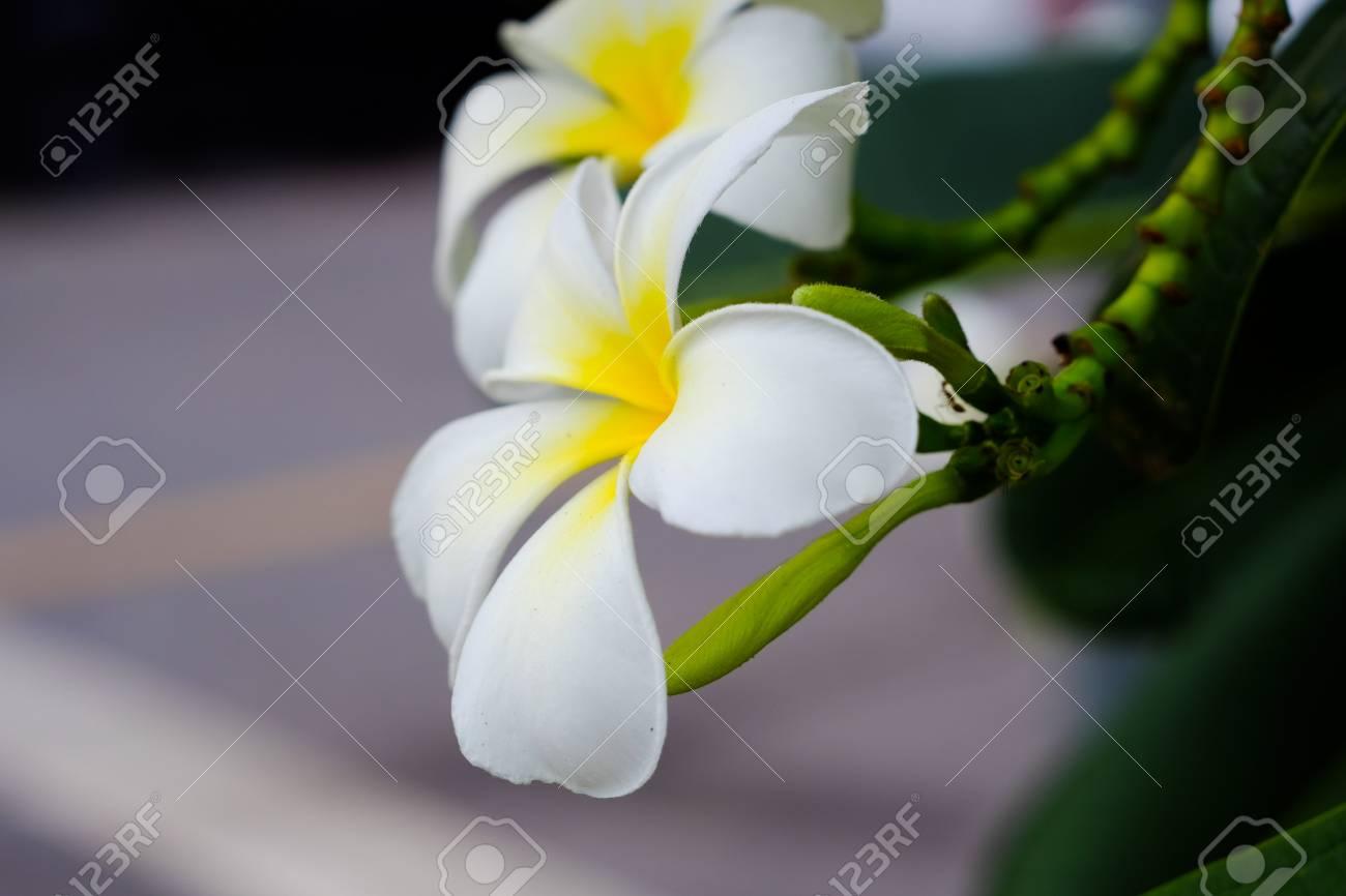 Fiori Bianchi Con Centro Giallo.Plumeria Is A Popular Plant Because The Flowers Are Colorful