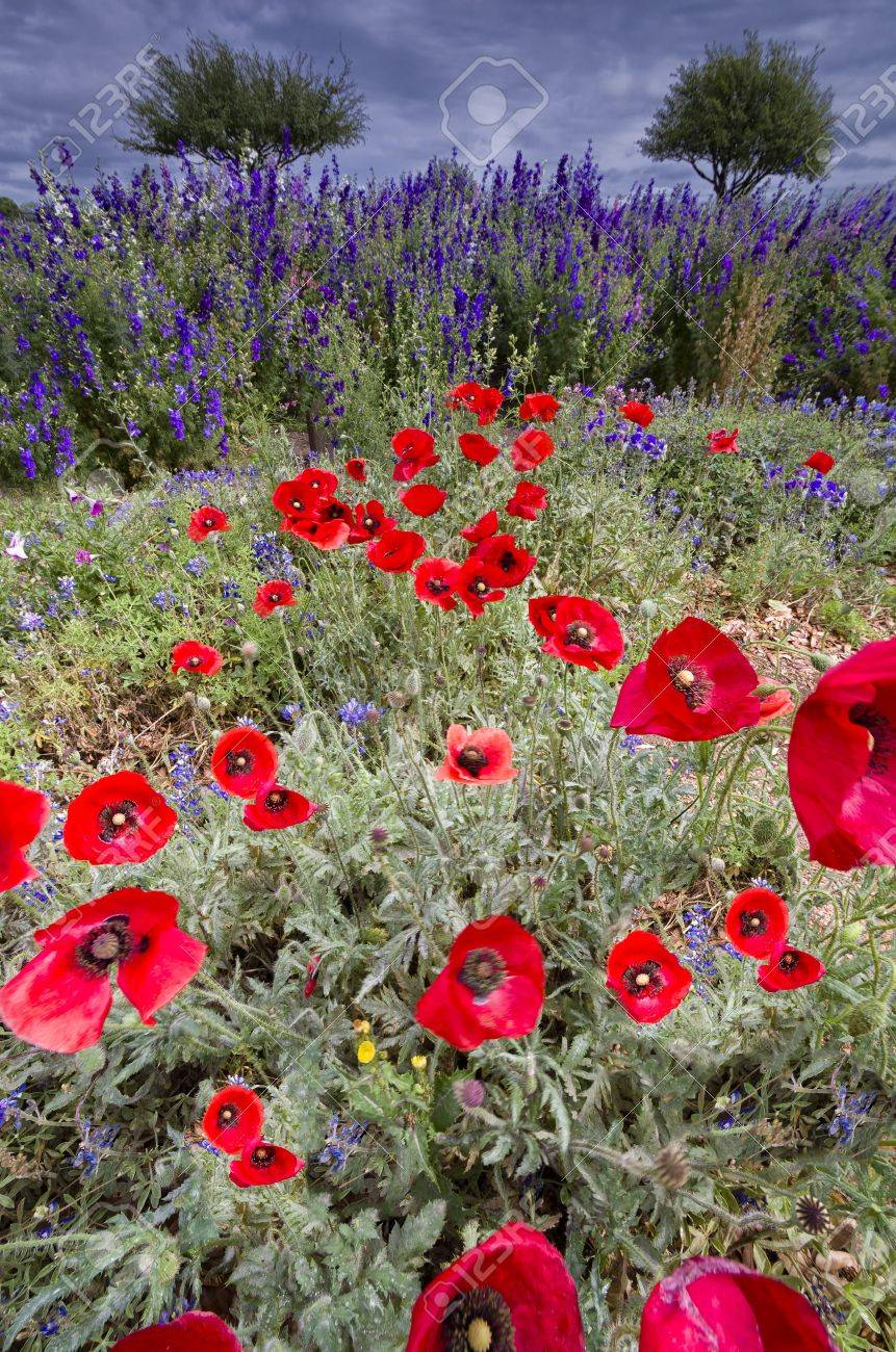 Red corn poppies in front of purple and white wildflowers against a foreboding sky Stock Photo - 19188283