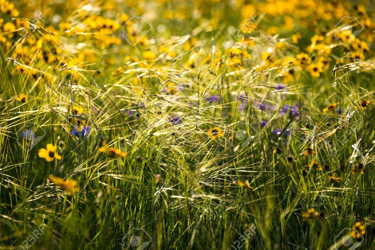 Yellow and purple wildflowers interspersed among glistening tall stock photo yellow and purple wildflowers interspersed among glistening tall grasses mightylinksfo