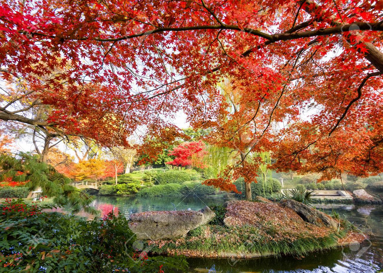 A Burst Of Fall Color Over A Texas Pond With Japanese Maple Trees