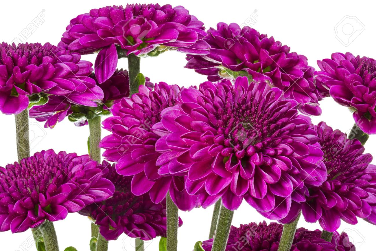 Bouquet Of Purple Dahlias Isolated On White Stock Photo Picture And Royalty Free Image Image 25675404