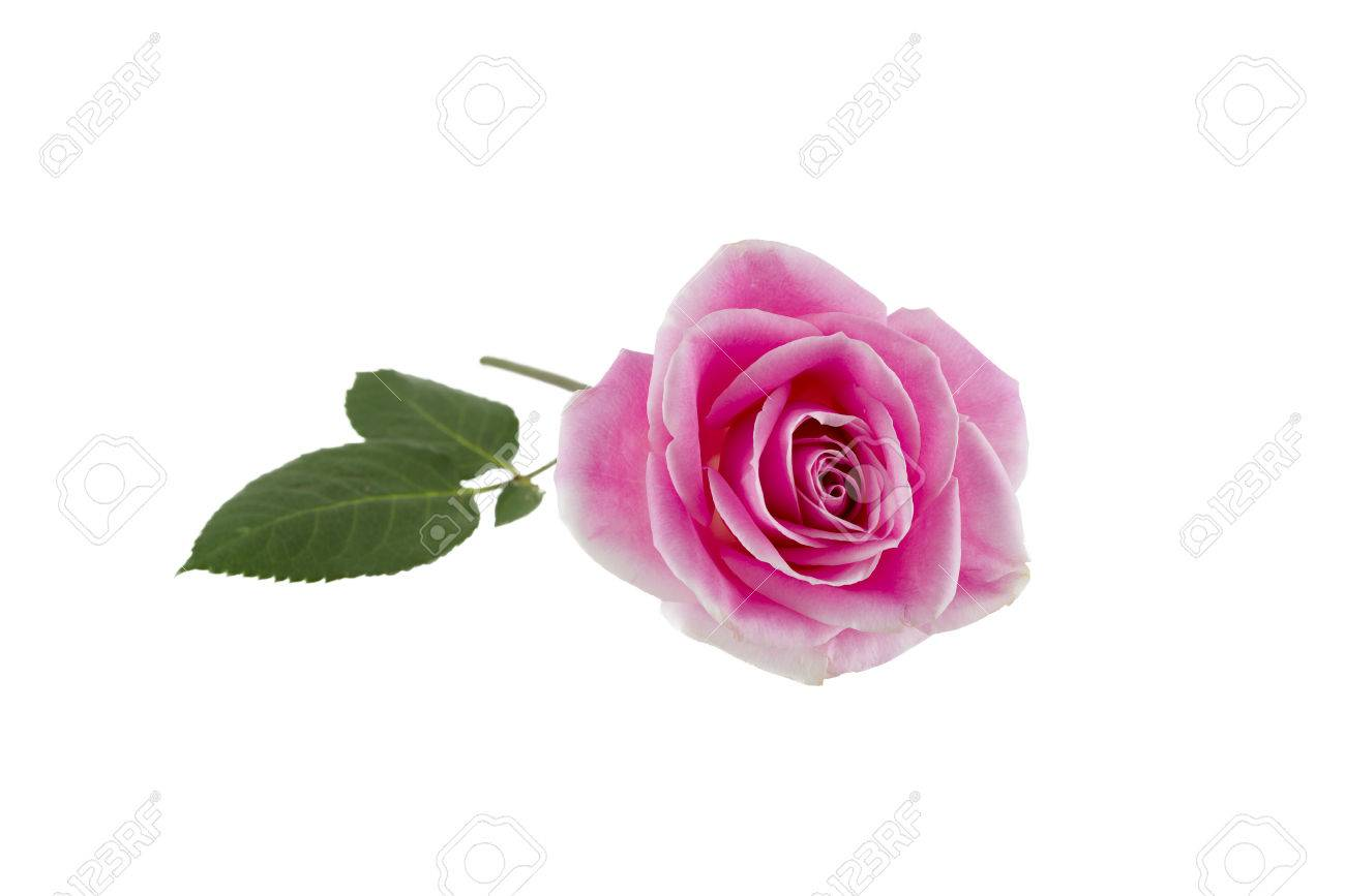Long Stem Pink Rose Isolated On A White Background Stock Photo