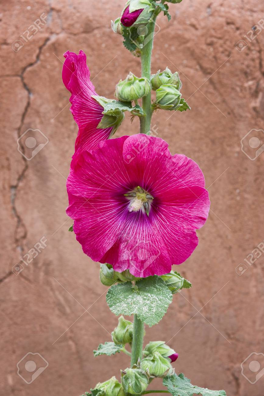 Red Rose Of Sharon Hibiscus Syriacus Growing Against An Adobe