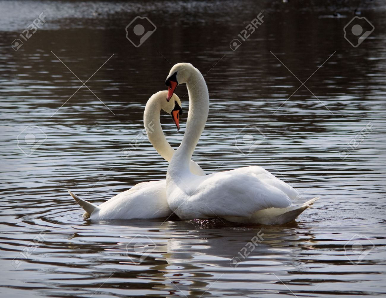 Pair of white swans on a pond. Close up. Stock Photo - 5043774