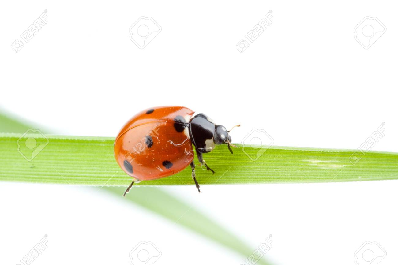 Ladybird on a green grass over white background. A close up. Stock Photo - 5729295