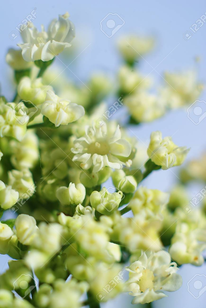 little white flowers  on isolated on blue Stock Photo - 13095121