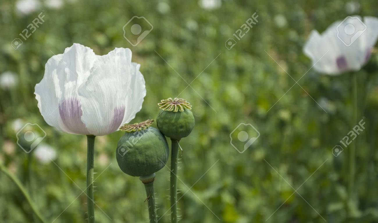 Opium Poppy Field Flower And Seeds Capsules Close Up Poppies Stock