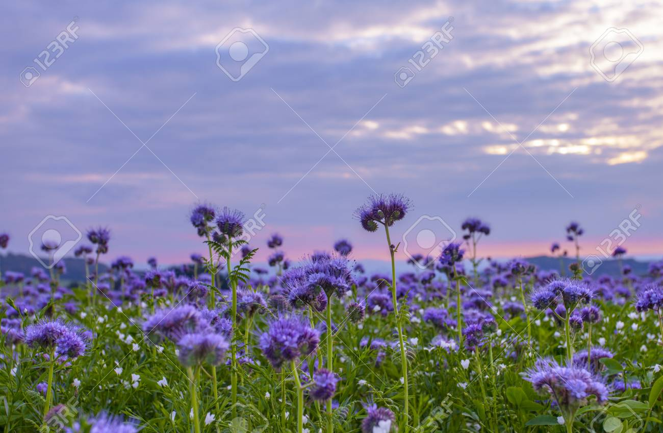 Phacelia Flowers Blooming Field And Purple Sunset Sky Background Stock Photo Picture And Royalty Free Image Image 87239209