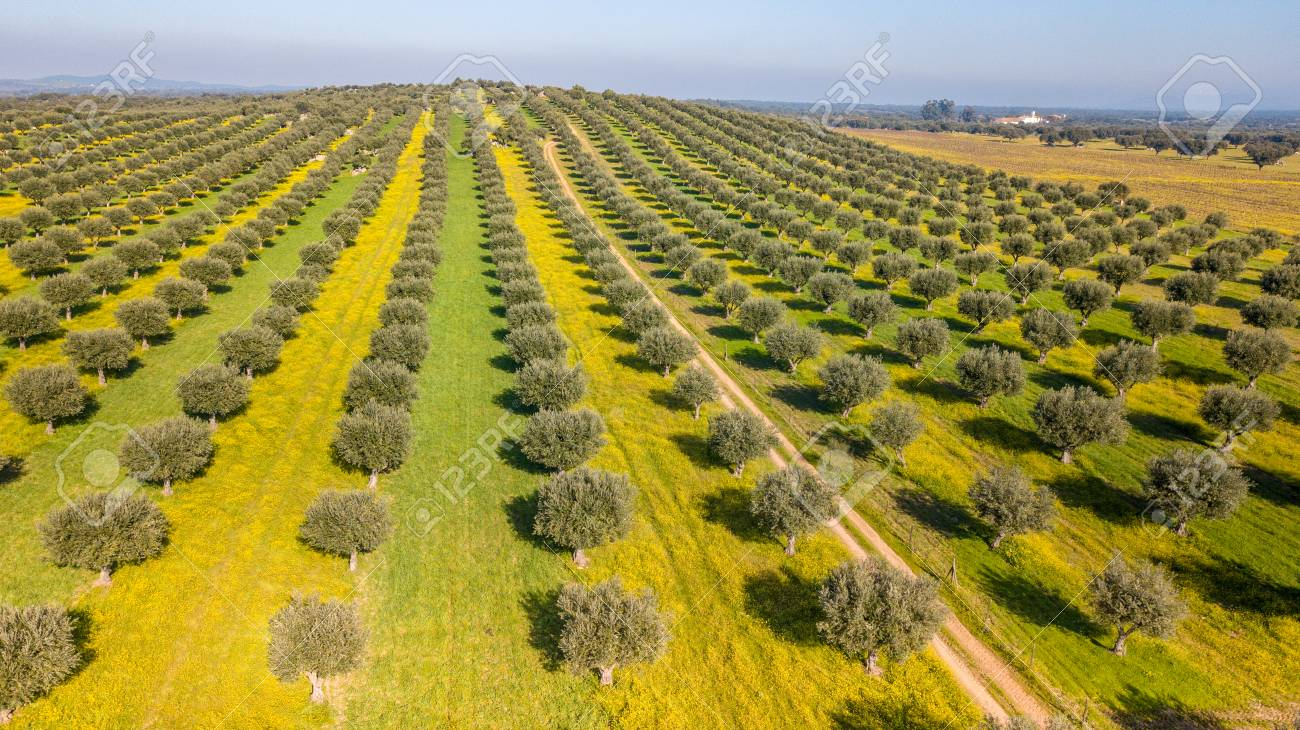 Drone aerial view of Giant olive grove in Alentejo Portugal - 118928175