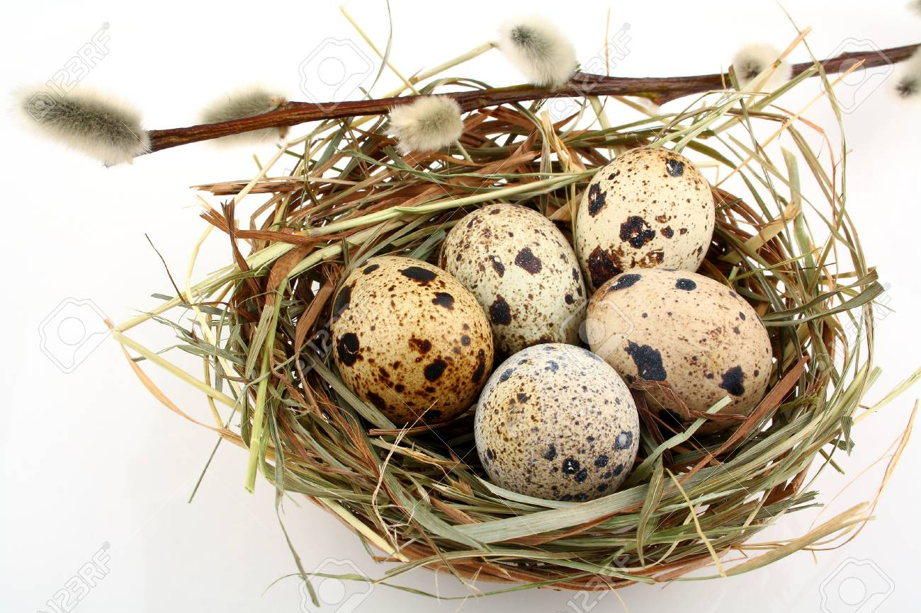 Five quail eggs in nest with willow branch, close up Stock Photo - 18966454