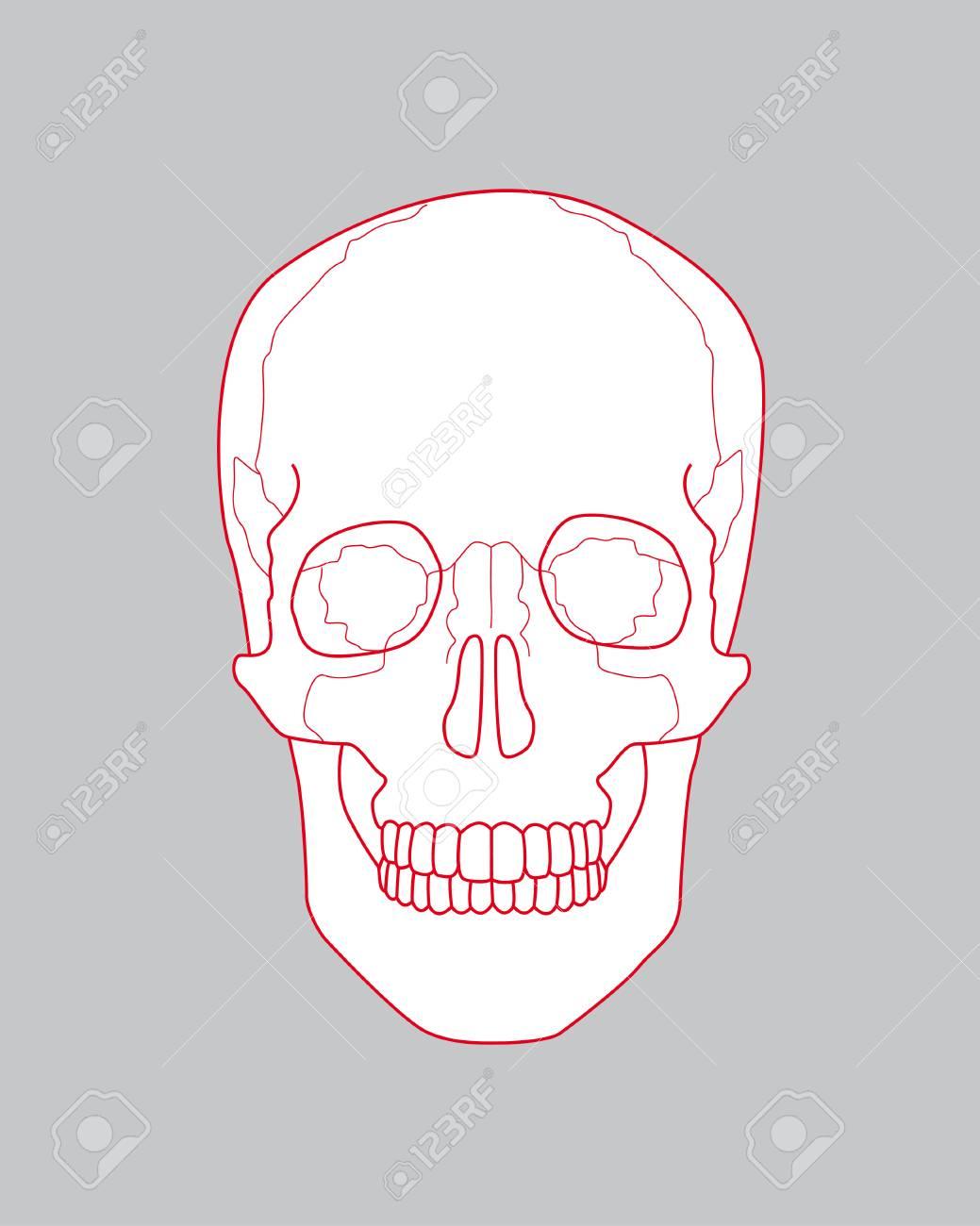 Cráneo Dibujo Ilustraciones Vectoriales, Clip Art Vectorizado Libre ...