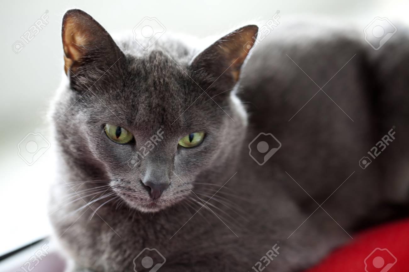 grey cat close up Stock Photo - 13935634
