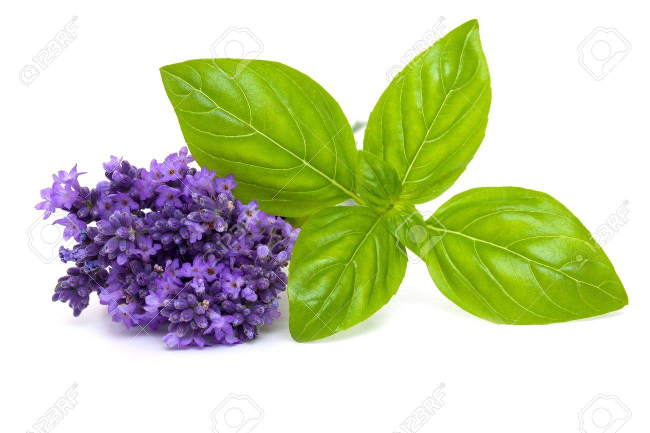 basil and lavender isolated on white background - 14647421