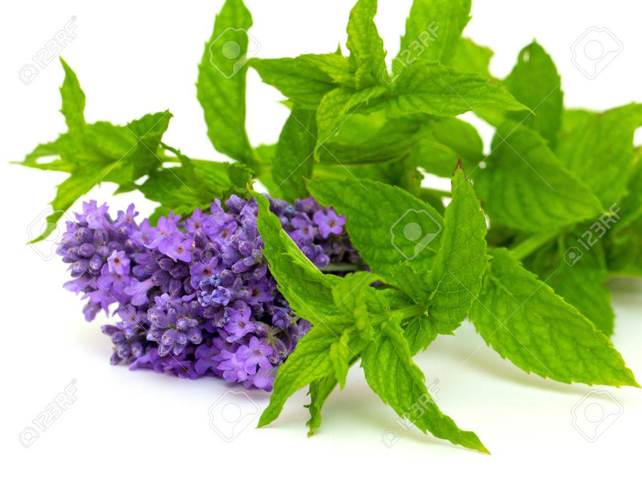 Lavender And Peppermint Isolated On White Background Stock Photo, Picture  And Royalty Free Image. Image 14766457.