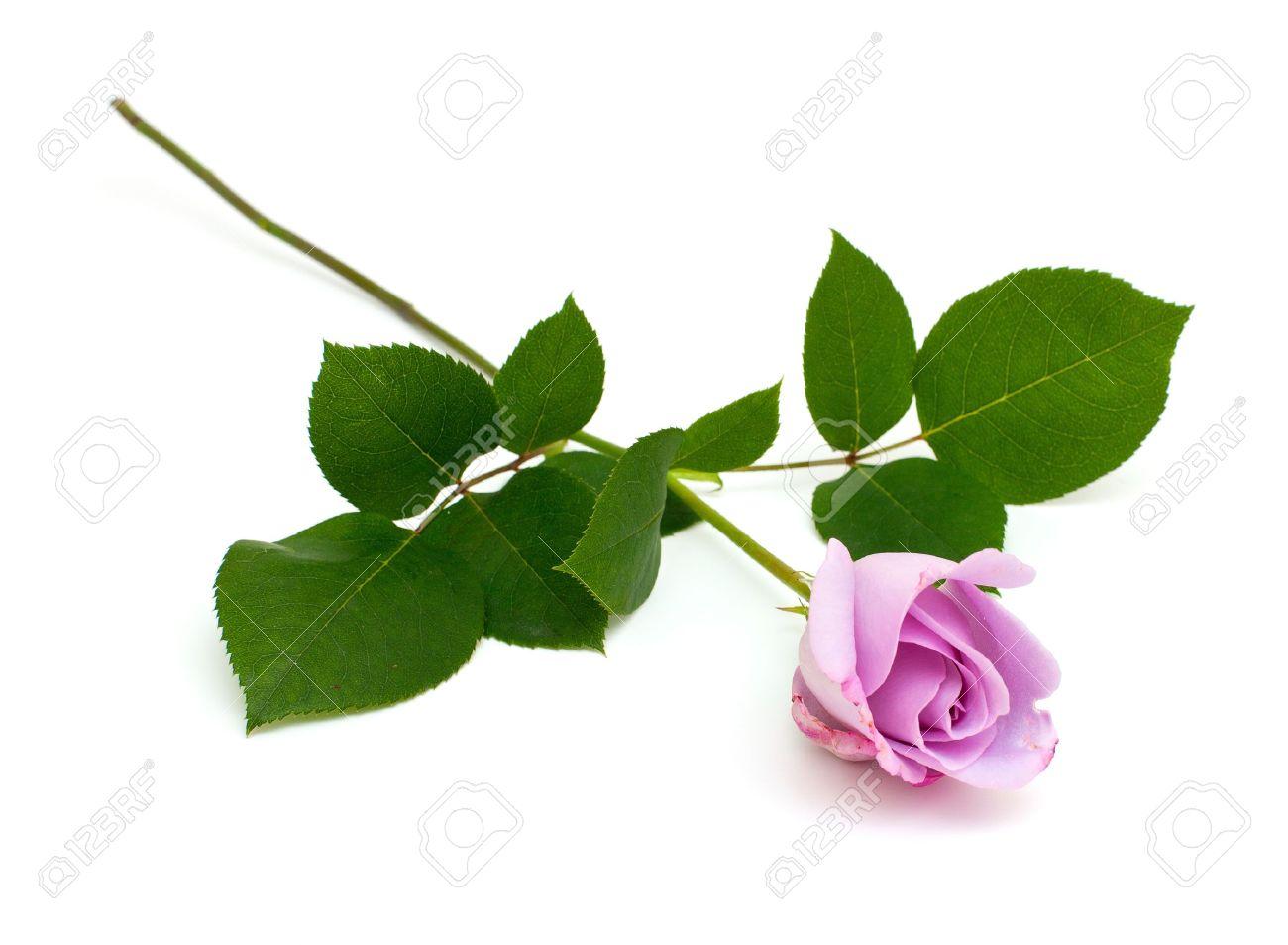 Purple Rose Isolated On White Background Stock Photo