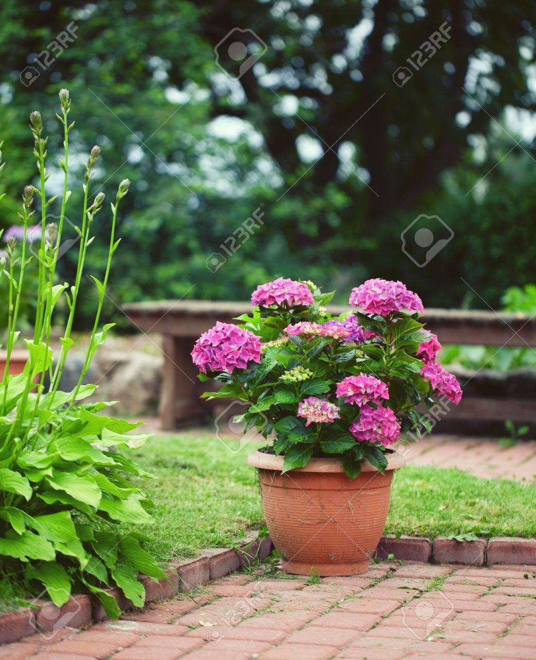 Cuidado De Las Hortensias En Maceta Cultivo De Hortensias En