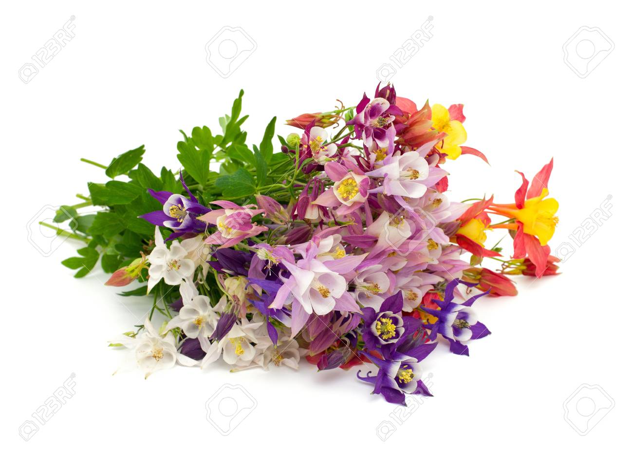 Columbine flowers of different colors over white stock photo columbine flowers of different colors over white stock photo 20200233 izmirmasajfo