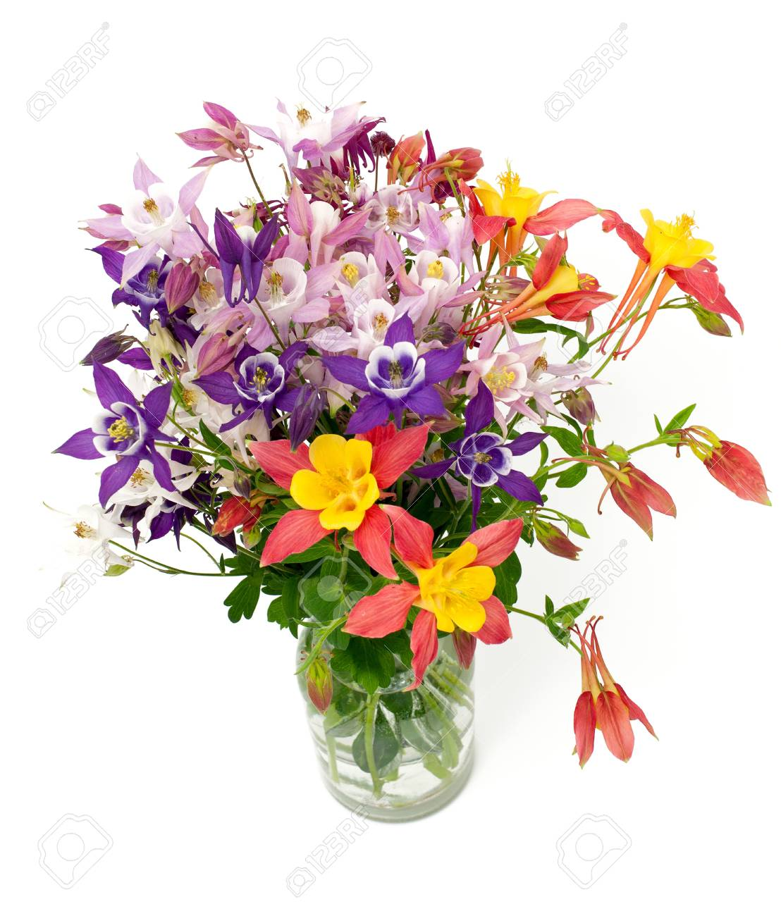 Columbine flowers of different colors over white stock photo columbine flowers of different colors over white stock photo 20730771 izmirmasajfo